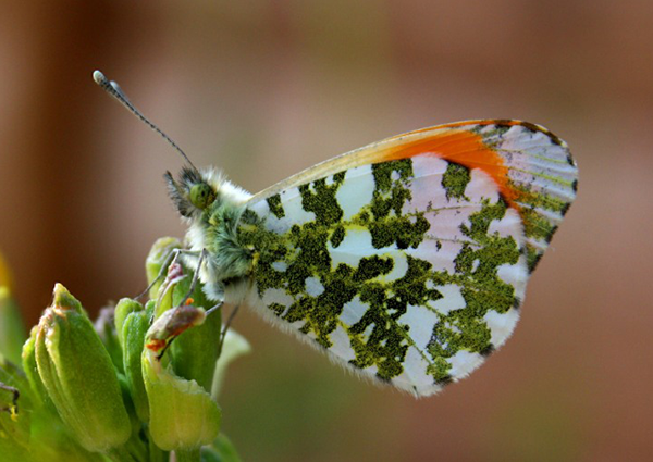 Southend Photographic Society member photo of a beautiful green and white butterfly on a budding flower