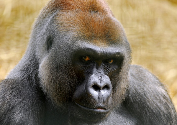 Moody and meaningful photo of a gorilla looking straight down the camera lens