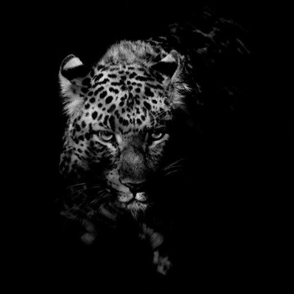 Captivating photograph of a Chinese leopard face-on the camera surrounded by blackness